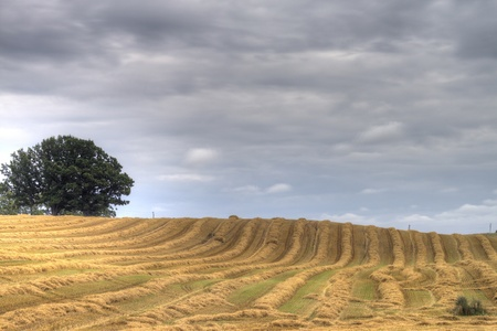 Yellow striped field under the dark cloudy sky  Straw rows after harvesting cereals Stock Photo - 15617635