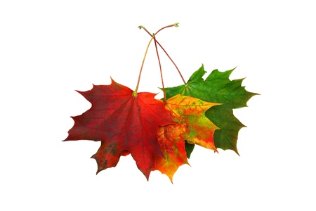 Three colorful carved maple leaves illustrate the transition from green to purple isolated on white photo