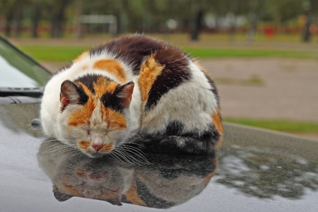 Tortie cat with red markings on the muzzle sleeps reflected in the hood of car photo
