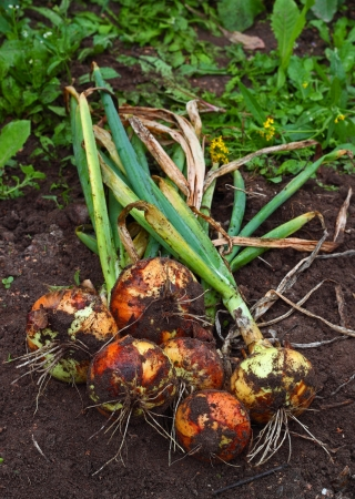 Bunch of fresh dug onions on the garden earth Stock Photo - 15676847