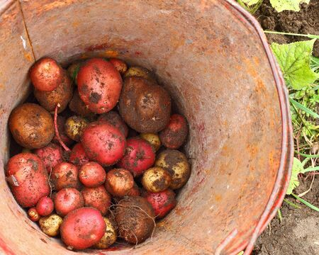 Potatoes small portion at the bottom of a rusty tin bucket