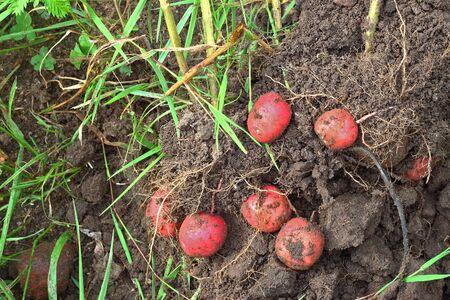 Potatoes fresh dug, red, lying on the ridge ground Stock Photo - 15676883