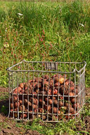 Potatoes fresh dug, in the metallic cage box on green grass background Stock Photo - 15676842