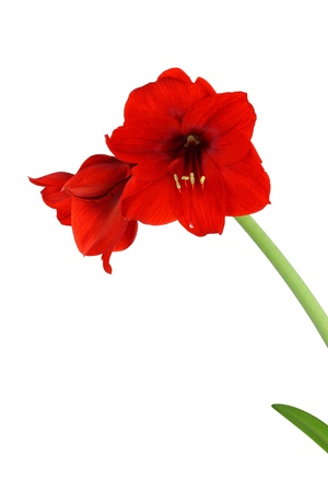 Red amaryllis Hippeastrum flowers with stern isolated on white