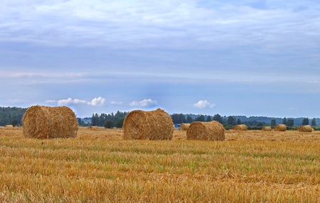 Round haystacks of yellow straw on the field after the grain harvest photo
