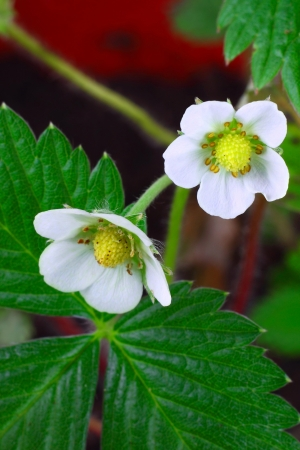 Strawberry flowers macro closeup with leaves and soil in background photo