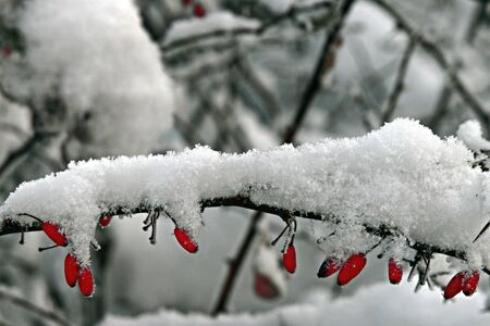Snow covered branch of red barberries on natural winter blur background
