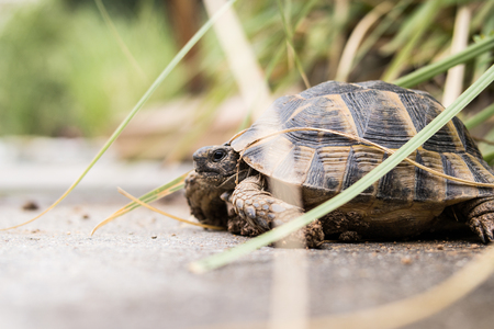 Turtle walking in the garden.