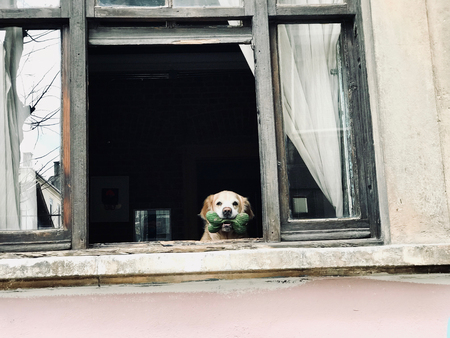 Dog Looking Out Window with Bone From Street View. Stock Photo