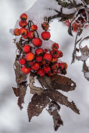rowanberry: montroc,chamonix,haute savoie,france