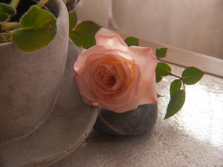 rose Stok Fotoğraf - 82190026