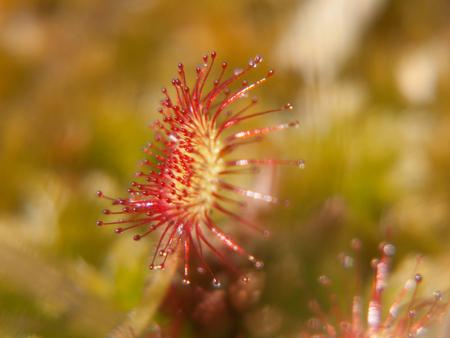 drosera rotundifolia,loire, france