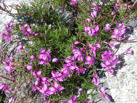veny: Beautiful flowers of the Lac De Gloix, Val Veny, Val DAoste