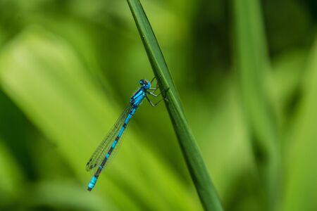 Calopteryx splendens of lake of godivelle in puy de dome in france