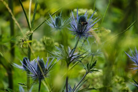 eryngium alpinum,pass of jaman,swiss