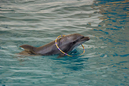 porpoise: dolphin playing with toys in seaquarium