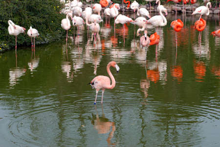 pink flamingos standing in a water photo