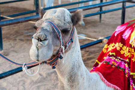 Portrait of egyptian camel in harness photo