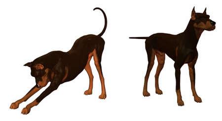 poodle: Doberman dog isolated on a white background