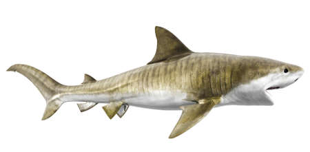 dead fish: tiger shark isolated on a white background Stock Photo