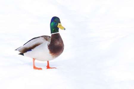 A male mallard duck stands in the midst of winter. photo