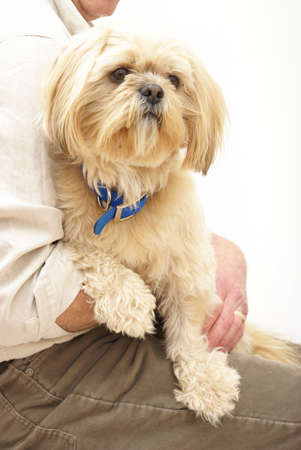 shih tzu: A married man is holding is Shih Tzu dog in his lap.