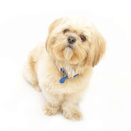 An adorable Shih Tzu dog isolated on white.