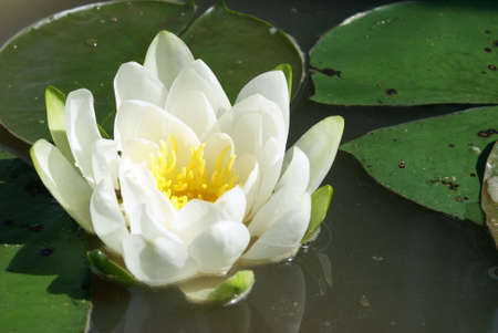 A macro shot of a water lily. photo