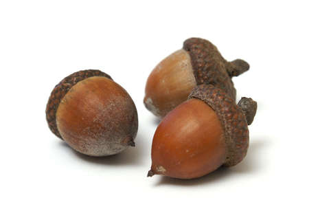 nut shell: Three isolated acorns on a white background.