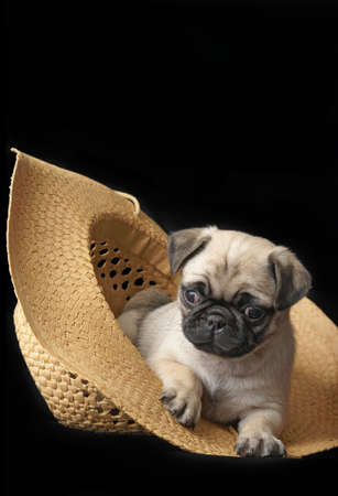 An adorable little pug puppy is relaxing inside of a straw hat. photo