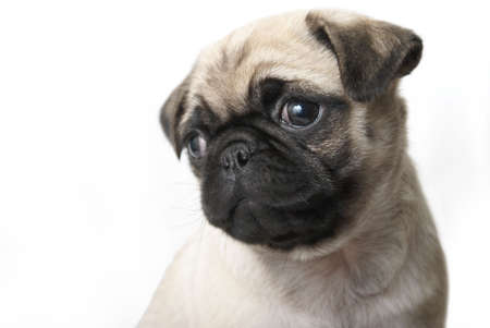 An adorable pug puppy sits and looks out of the frame where there is also copy-space.