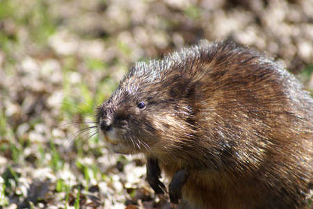 muskrat: A close-up shot of a muskrat on the shore. Stock Photo