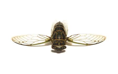 cicada bug: A cicada, tibicen davisi, is isolated on a white background. Stock Photo