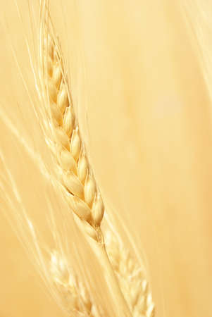 A closeup shot of some bearded wheat. photo