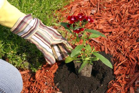 庭師は土でいくつかの花を植物します。