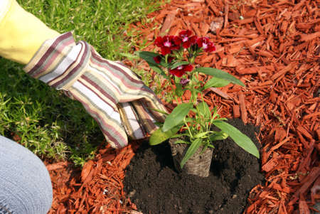 mulch: A gardener plants some flowers in the dirt.
