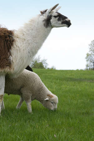 llama: A llama is used to guard sheep from wolves and coyotes. Stock Photo