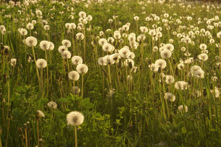 seeding: A field full of wild dandelions ready to spread their seeds.