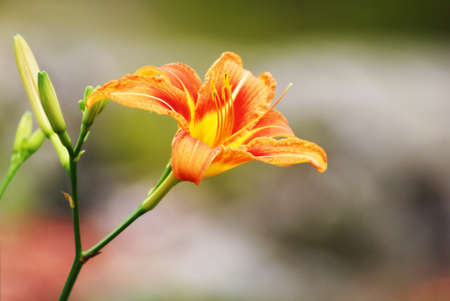 A beautiful Tiger Lily in full bloom within the summer garden. photo