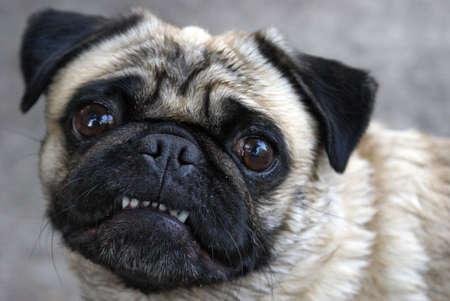 perro furioso: Un pug muestra los dientes para la cámara en esta cómica pose.