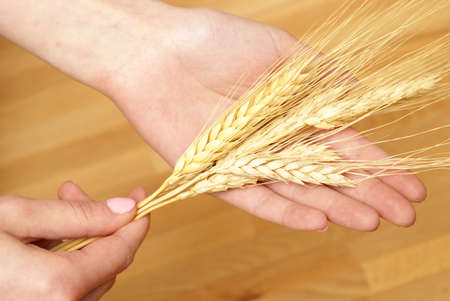 A woman holds some bearded wheat in her hands. photo