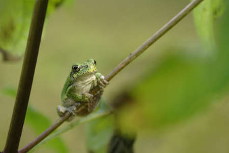webfoot: A gray tree frog found in the eastern forests of North America.