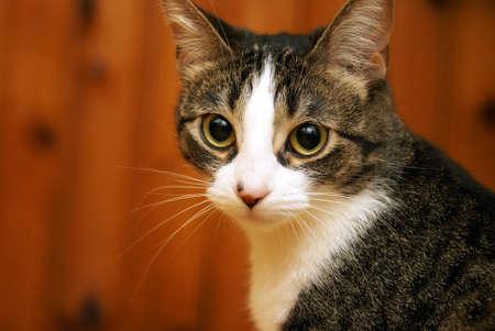 housecat: A housecat looks alert and focused in this closeup facial shot. Stock Photo