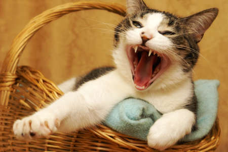 housecat: A housecat yawns shortly after waking up from a nap.