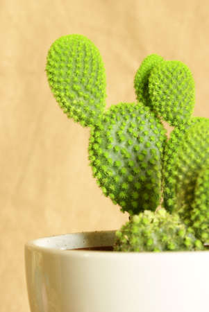potted plant cactus: A macro shot of a lovely fresh potted cactus for the home decor. Stock Photo