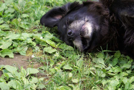 A female lab rests on the cool ground to beat the summer heat. Archivio Fotografico