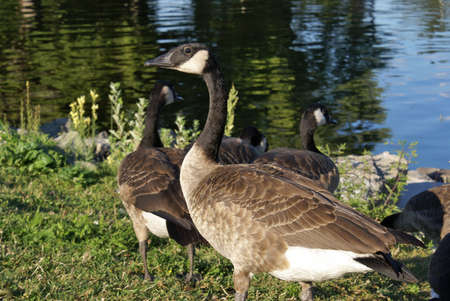 canadian geese: Group of adult Canadian Geese standing at a rivers edge. Stock Photo