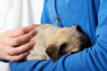 snuggle: A woman embraces her newborn pug puppy with a loving and tender snuggle in her arms. Stock Photo