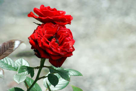 zoomed in: A couple of roses zoomed in from the rest of the bush. Stock Photo