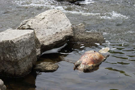 fester: The body of a dead beaver floats on top of the water.